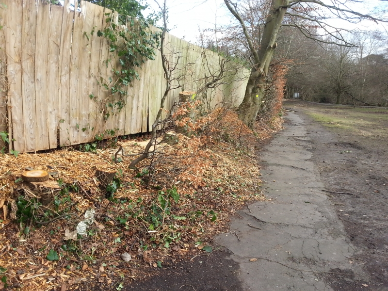 Beech hedge removal