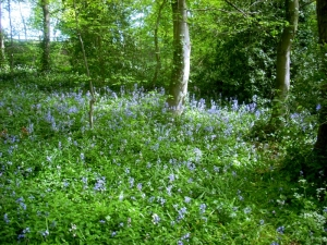 Boase Wood bluebells